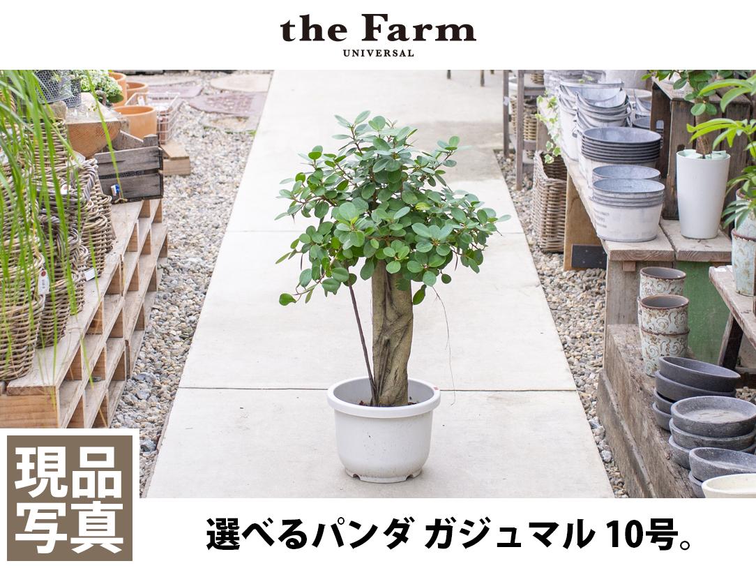 選べるパンダ ガジュマル 10号