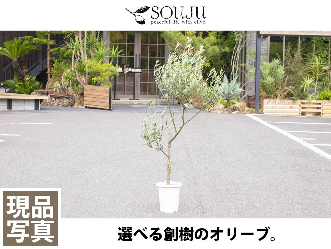 選べる創樹のオリーブ